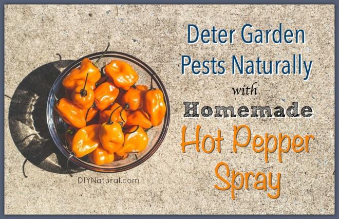 Homemade Garden Bug Spray - Natural Hot Pepper Solution