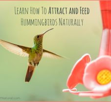 Learn to Attract and Feed Hummingbirds Naturally
