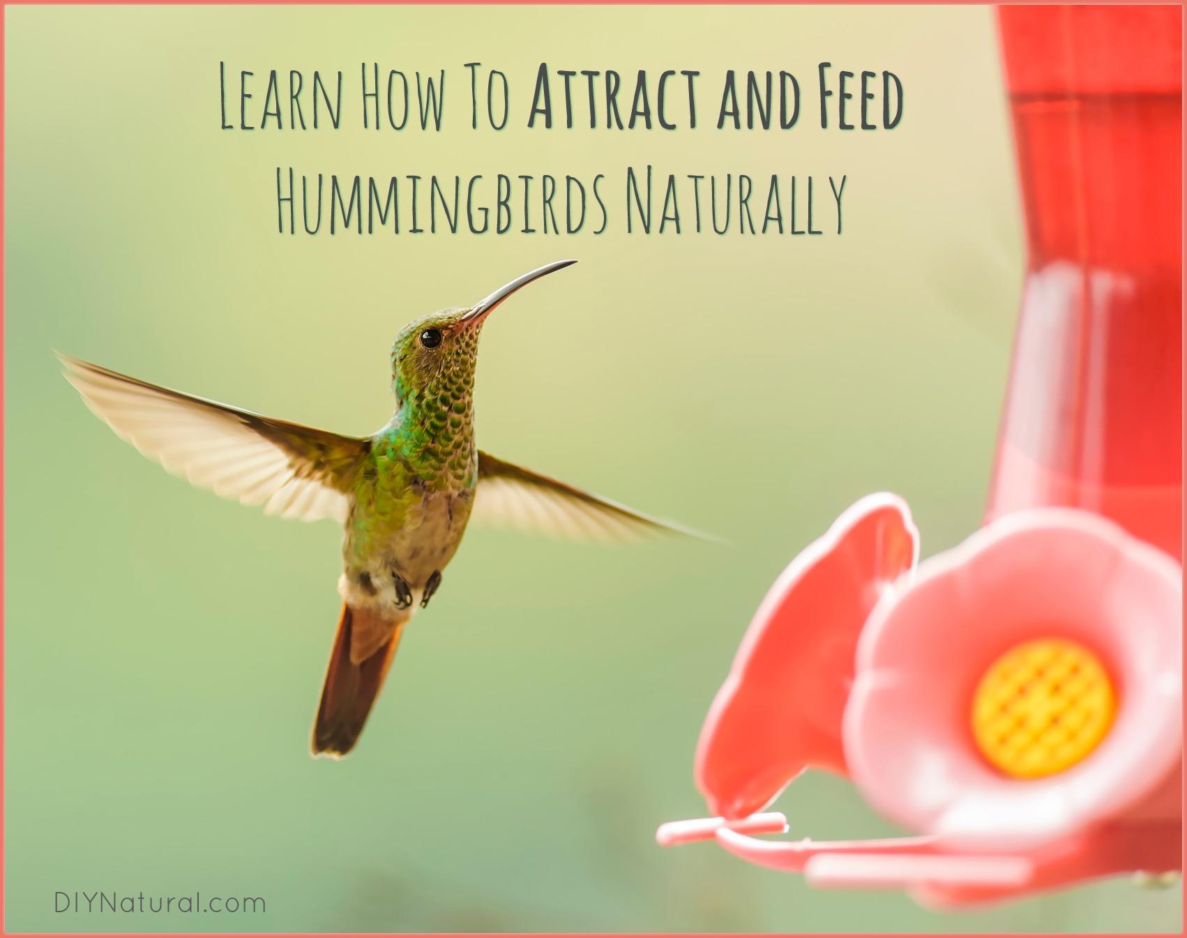 Natural Homemade Hummingbird Food