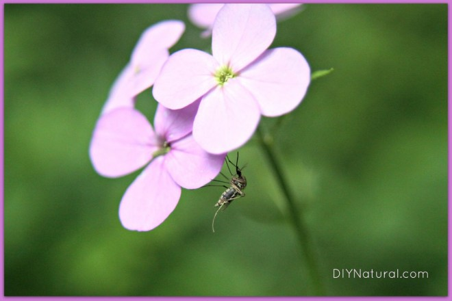 Homemade Insect Repellent 1