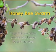 Things You Should Know About Honey Bee Swarms