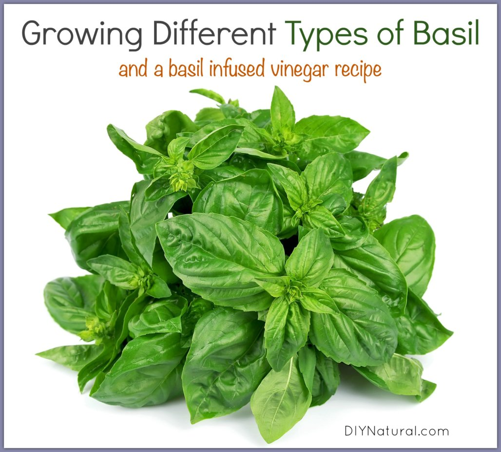 how to grow basil different types and an infused vinegar. Black Bedroom Furniture Sets. Home Design Ideas