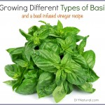 Types of Basil and a Basil Infused Vinegar Recipe