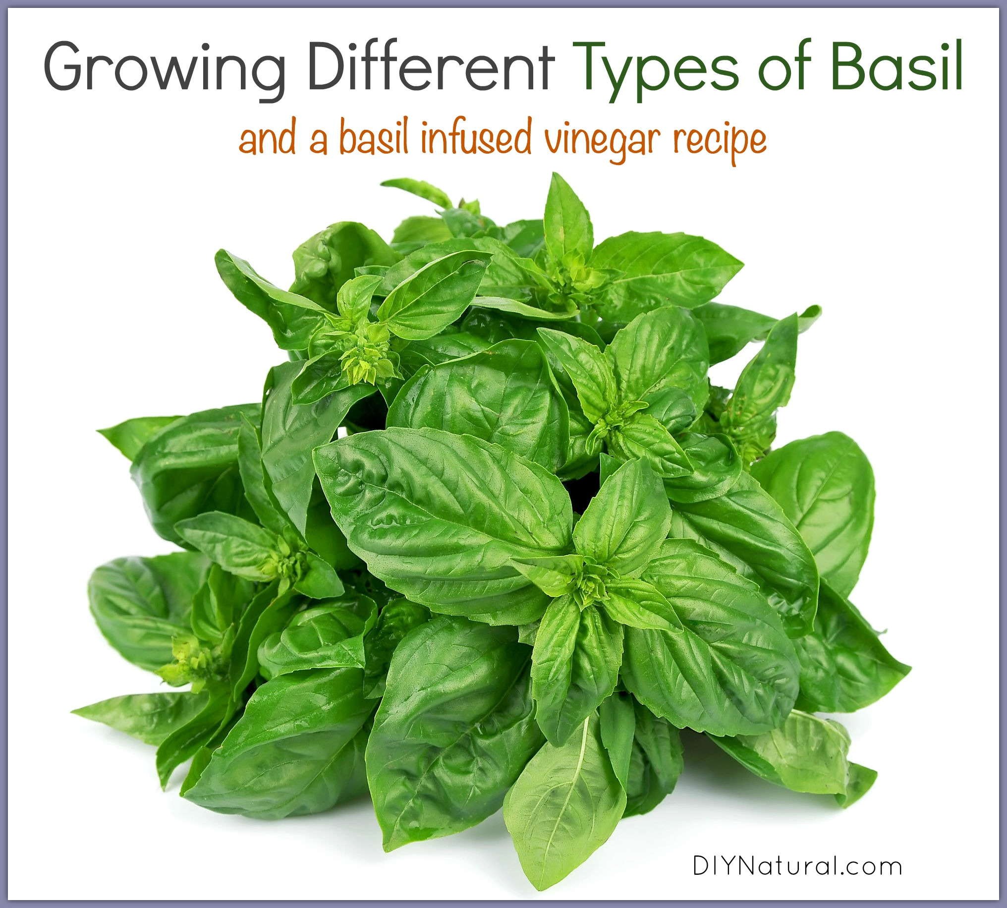 How to grow basil different types and an infused vinegar for Different garden plants