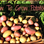 Growing Potatoes is Easy and Fun