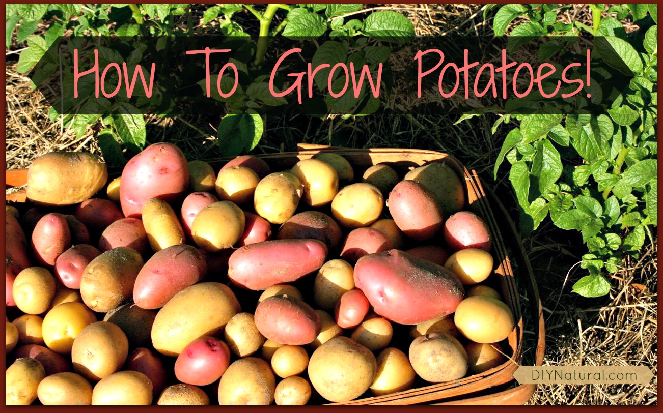 How To Grow Potatoes From Eye To Harvest