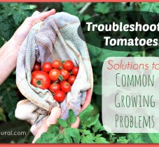 Solutions To Common Problems in Tomato Plants