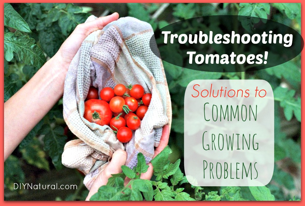 How To Grow Tomatoes and Troubleshoot Common Growing Problems
