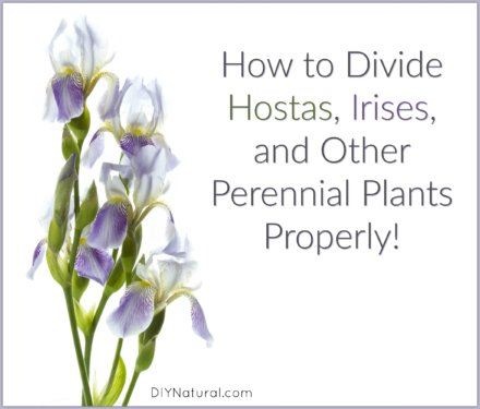 How to Divide Hostas Irises Perennials