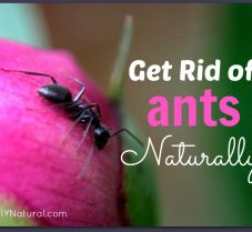 Learn How to Get Rid of Ants Naturally!