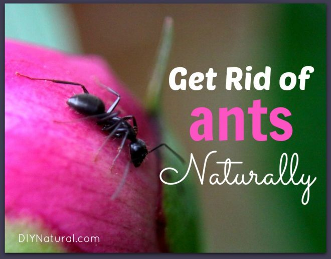 How To Get Rid of Ants Naturally: House and Carpenter Ants