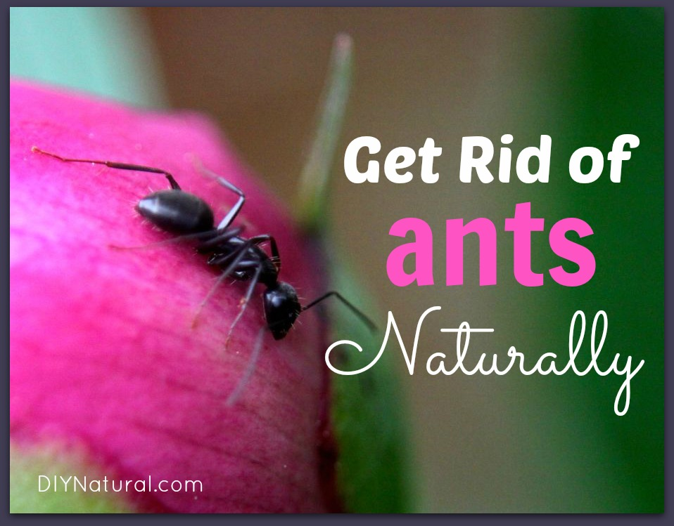 How To Get Rid of Ants Naturally: Both House Ants AND Carpenter Ants