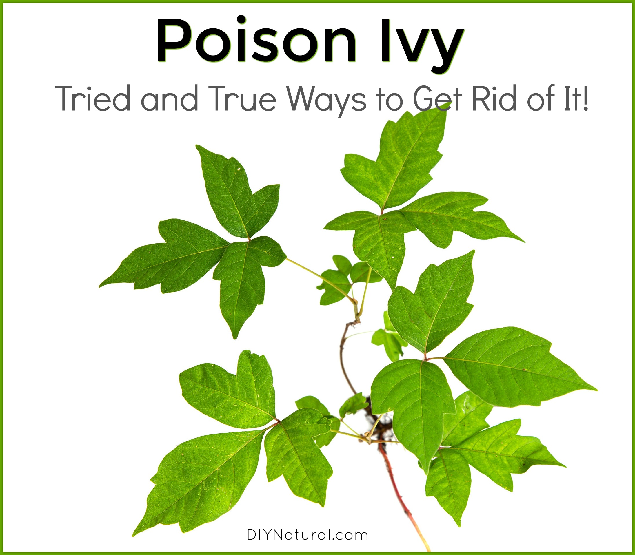 A Natural Way To Get Rid Of Poison Ivy Plants
