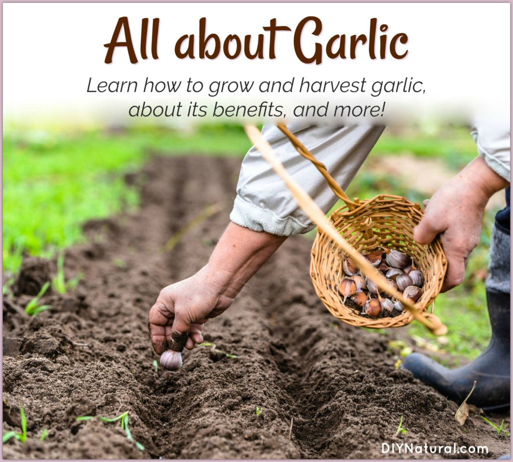 how to grow garlic health benefits of garlic and more garlic tips. Black Bedroom Furniture Sets. Home Design Ideas