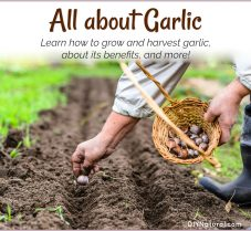 Benefits of Garlic, How to Grow It, & More Garlic Tips