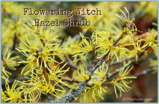 How to Make Witch Hazel 1