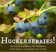 Health Benefits of the Huckleberry (Bilberry) Fruit