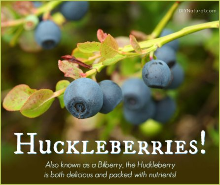 Huckleberry Bilberry Health Benefits