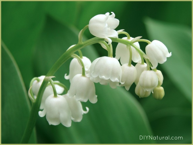 Is Lily of the Valley Poisonous