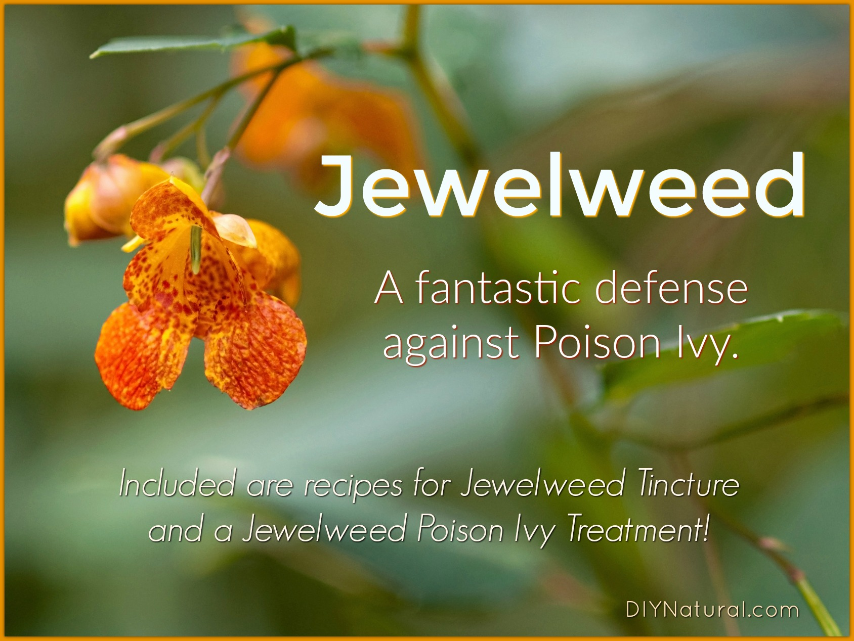 Jewelweed All About The Plant And A Jewelweed Poison Ivy Treatment