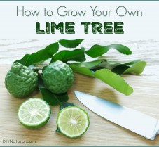 How to Grow and Use Your Own Kaffir Lime Tree