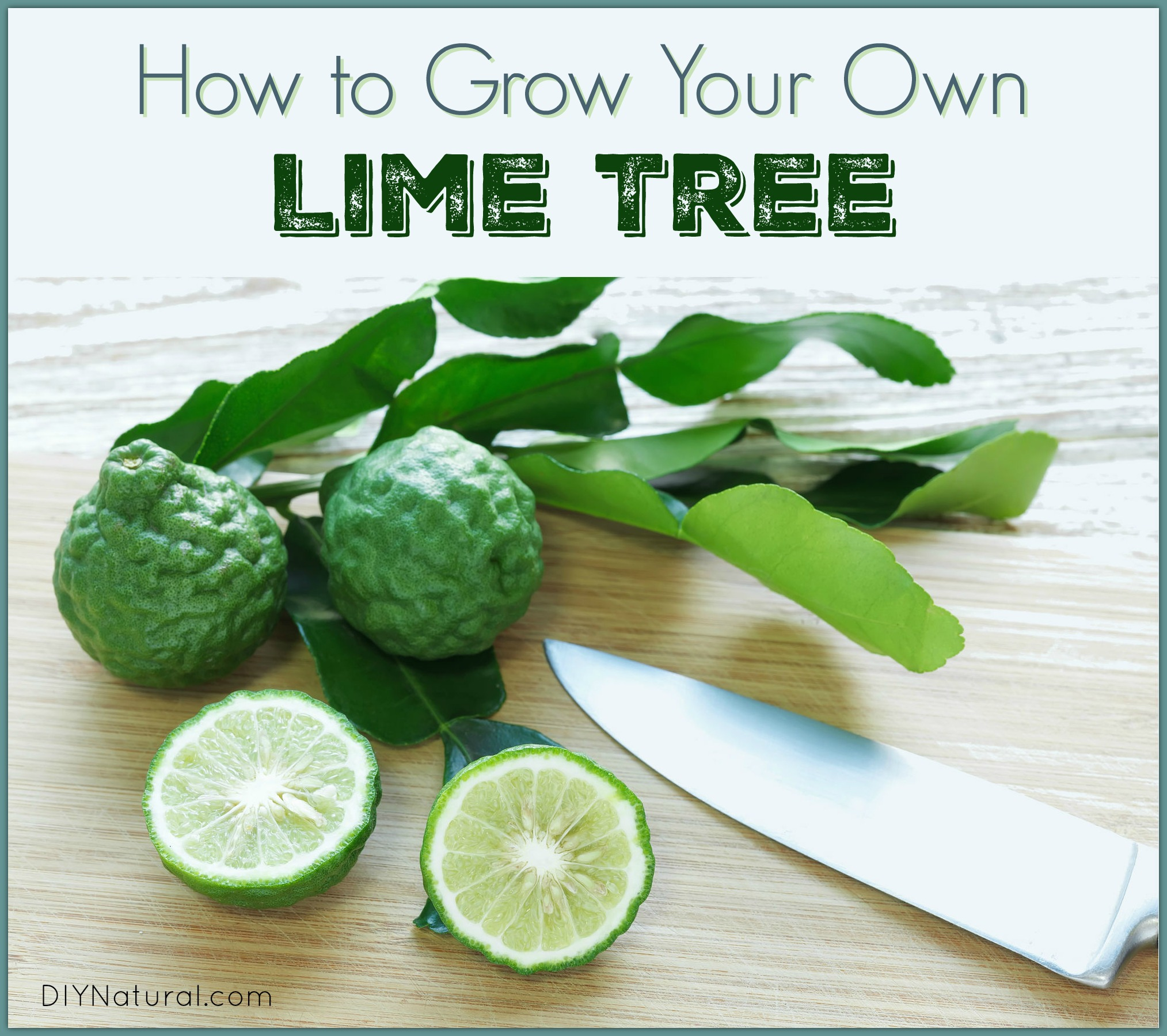 Kaffir lime leaves how to grow and use your lime tree - What is lime used for in gardening ...