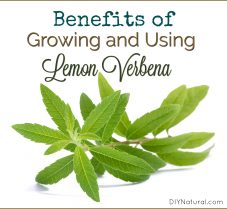 Benefits of Growing And Using Lemon Verbena