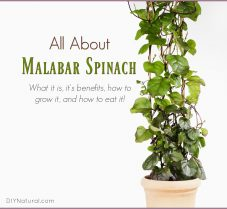 Malabar Spinach: Benefits and How to Grow & Eat It