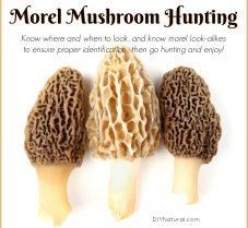 Morel Mushroom Hunting and Morel Look Alikes