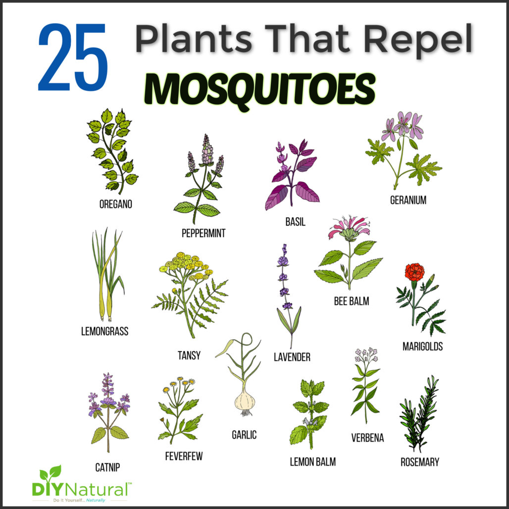 Mosquito Repellent Plants: 25 Plants That Repel Mosquitoes
