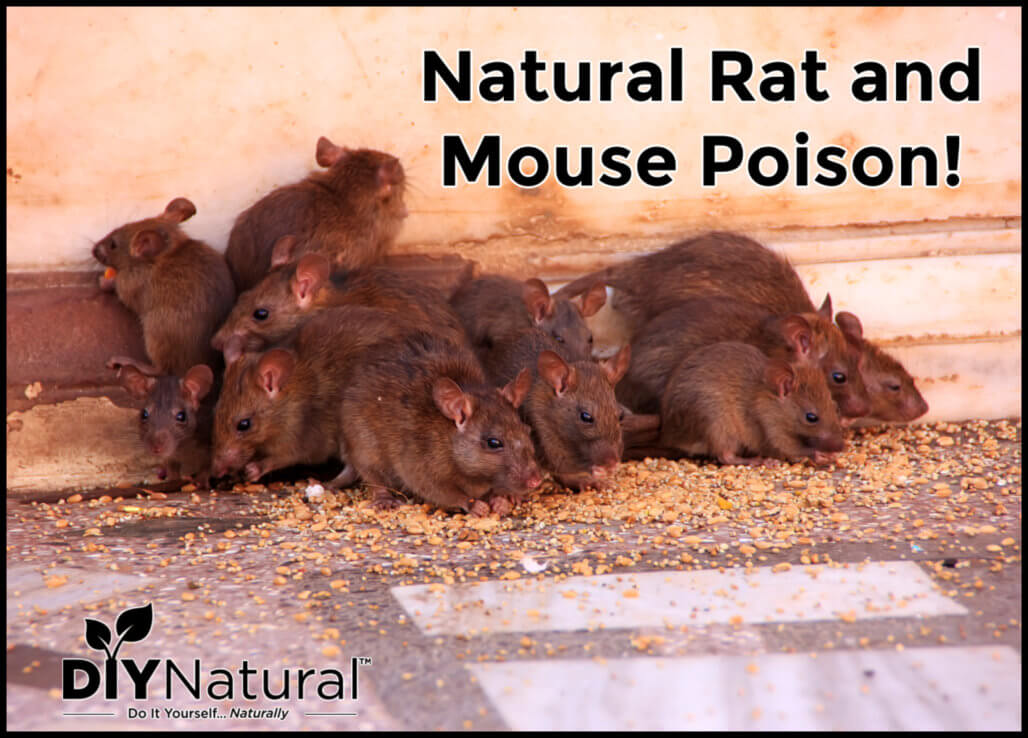 Natural Rat Mouse Poison Safe for Dogs