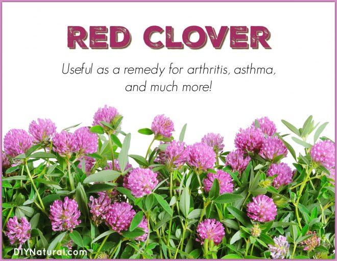 Red Clover: A Natural Remedy for Arthritis & Asthma
