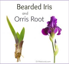 Bearded Iris: Beautiful and Useful as Homemade Incense