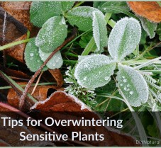 Easy Ways to Overwinter Sensitive Outdoor Plants