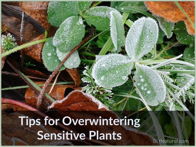 Overwintering Plants