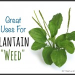 Using Plantain Weed for Skin Irritations & Even Food