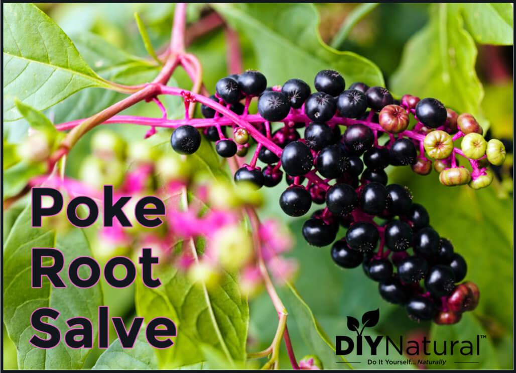 Make Poke Root Salve For Bug Bites, Scrapes & More