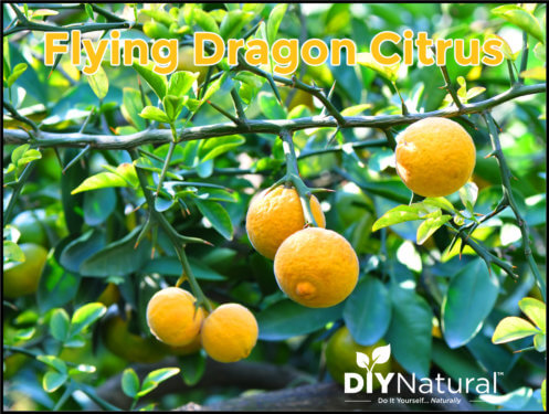 Poncirus Trifoliata Hardy Orange Flying Dragon Citrus