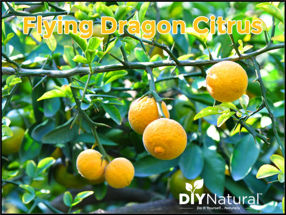 Flying Dragon Citrus Also Known As Hardy Orange