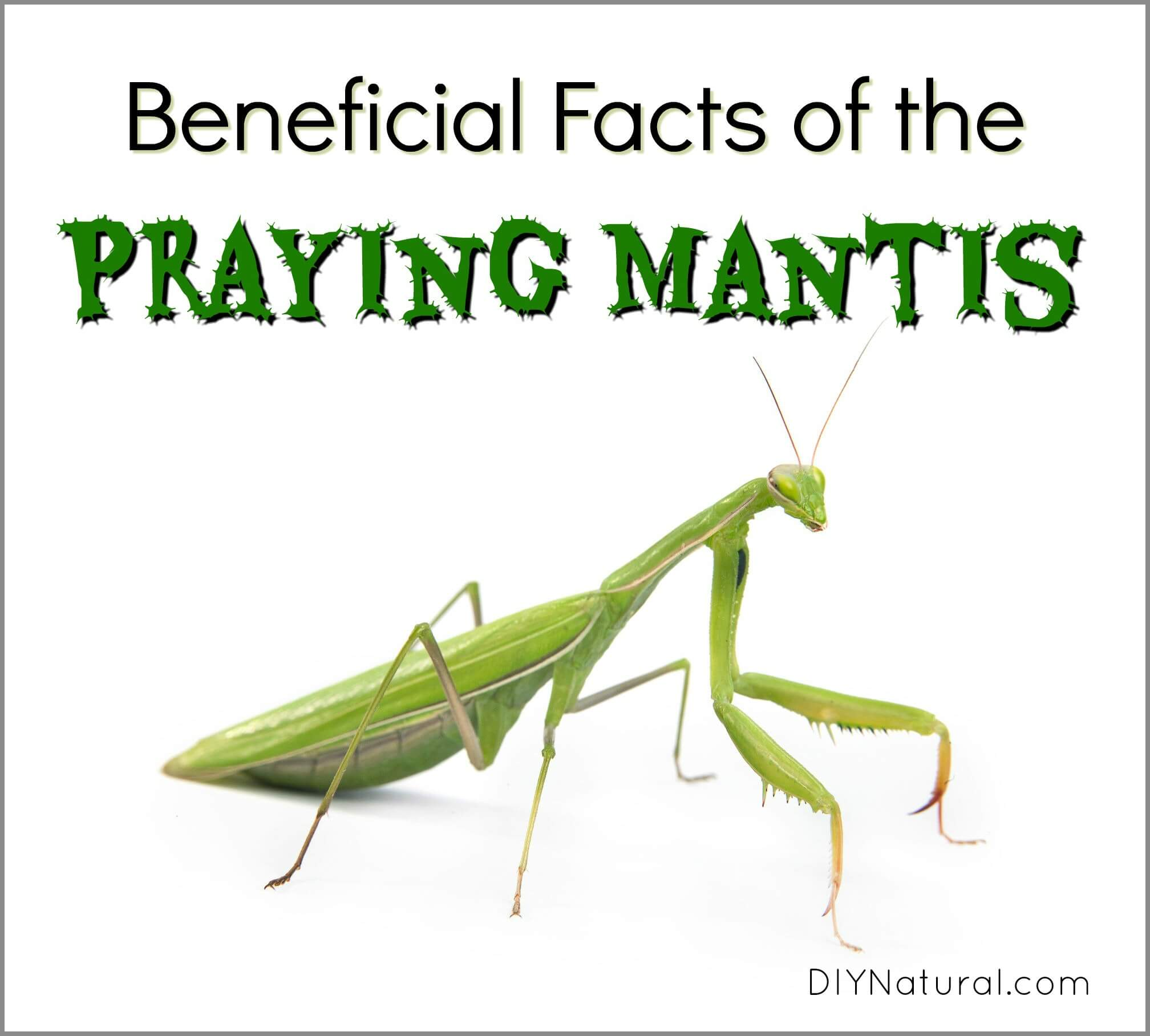 Praying Mantis Facts The Facts And Benefits Of Attracting Praying Mantis