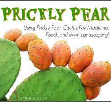 Using Prickly Pear Cactus For Food and Landscaping