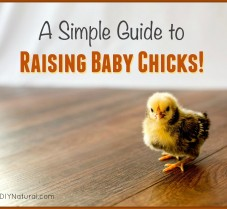 A Simple Guide To Raising Chicks (Baby Chickens)