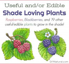 Edible & Medicinal Plants to Grow in Shady Areas