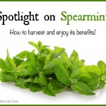 Spotlight on Spearmint – Benefits and How To Use It