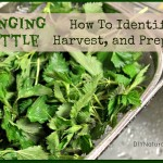 Stinging Nettle: How To Identify, Harvest, and Eat
