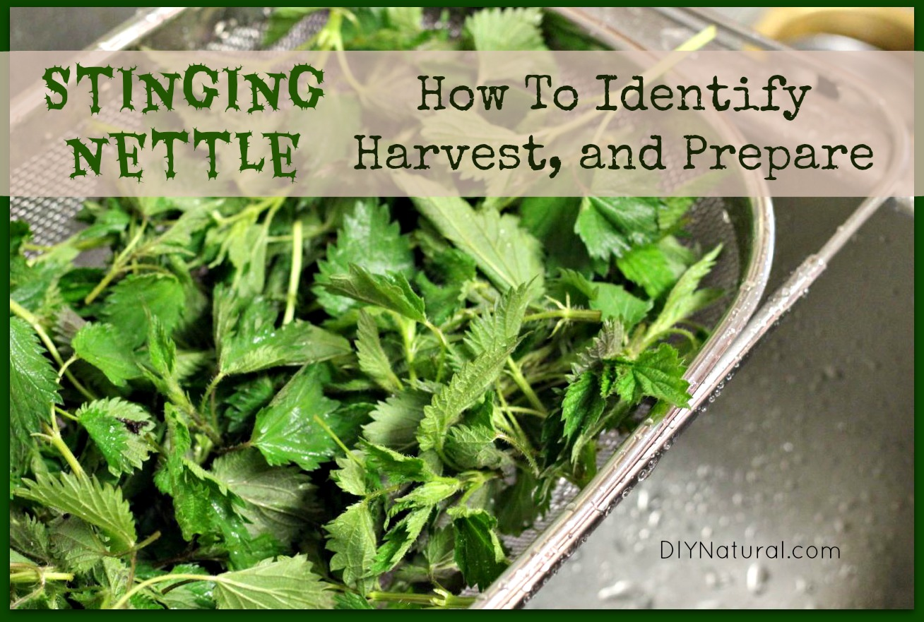 How to Identify Stinging Nettle