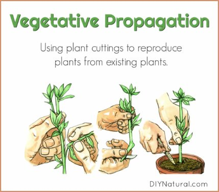 Vegetative Propagation Plant Cuttings