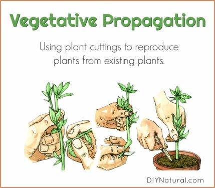 Vegetative Propagation Plant Cuttings