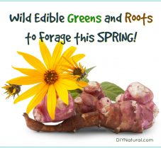 Wild Edible Greens and Roots to Forage During Spring
