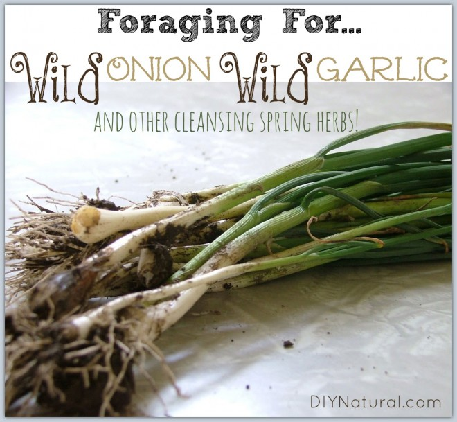 Wild Onion Wild Garlic